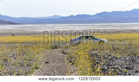 The yellow desert flowers try to conquer the desert next to the salt flats inside Death Valley National Park during the 2016 Super-bloom.