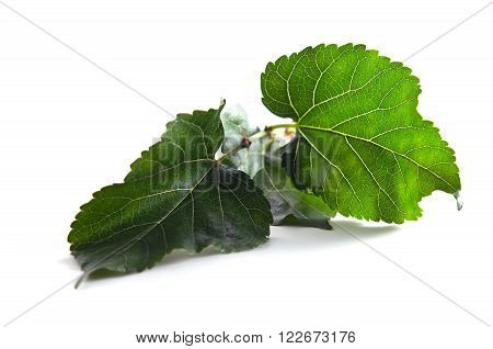 Close-up view of Mulberry (Other names are MORUS ALBA Moraceae ) leaf over white background ** Note: Shallow depth of field