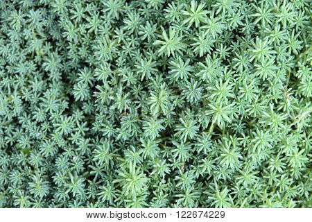 Close up of succulent(sedum) plant background