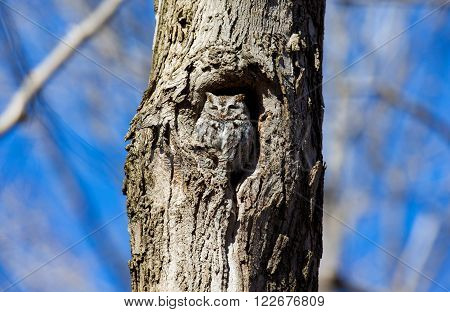 Eastern Screech Owl. This species is native to most wooded environments of its distribution and has adapted well to manmade development, although it frequently avoids detection.