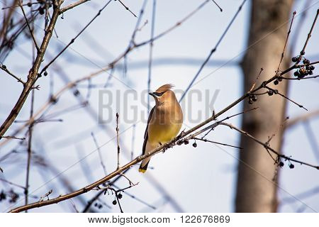 The cedar waxwing is a member of the family Bombycillidae or waxwing family of passerine birds. It is a medium-sized, mostly brown, gray, and yellow bird named for its wax-like wing tips.