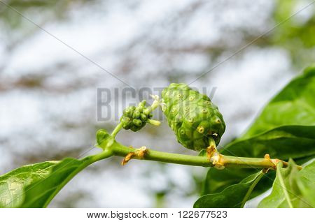 Fresh green Indean mulberry beach mulberry great morinda Tahitian noni with flower.
