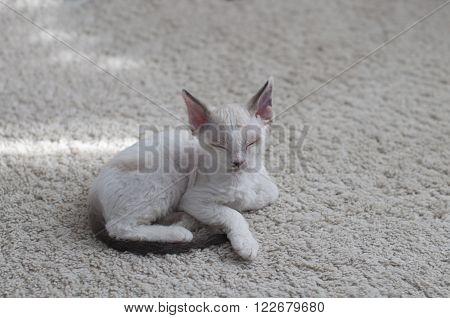 cute little blue-eyed devon rex kitten relaxes on carpet at home