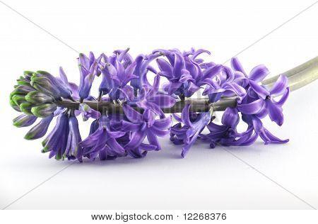 Violet hyacint