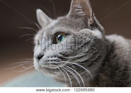 Beatiful purebreed Russian Blue Cat, studio shot