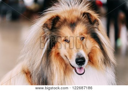 Funny Red Rough Collie Dog Close Up Portrait. Shetland Sheepdog, Sheltie, Collie Dog.