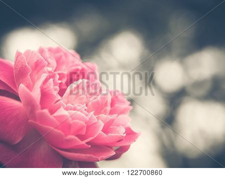 Soft focus photo of beautiful single pink roses with de-focused bokeh green leaves andlights in background. Extremely shallow dof. Vintage style photo and filtered process.