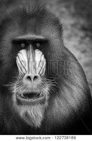 Black and white portrait of the adult male mandrill