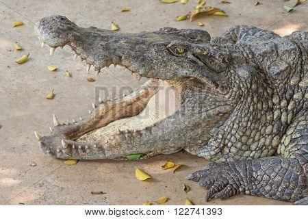 Closeup headshot of Siamese Crocodile resting on the floor with mouth widely opened showing teeth