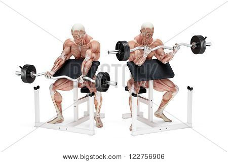 Preacher curl biceps exercise. Anatomical illustration. Isolated over white. Contains clipping path
