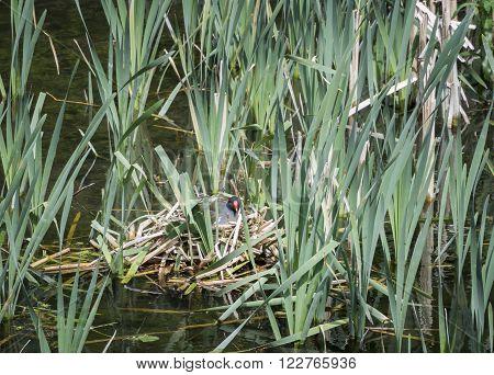 Moorhen sitting on a nest among reeds