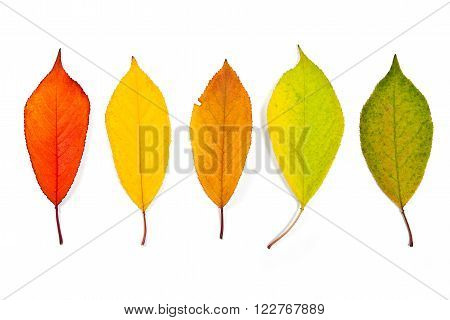 Assort Of Different Autumn Cherry Tree Leaves Isolated On White Background. With Clipping Path.