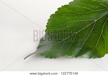 Close-up view of Mulberry (MORUS ALBA Moraceae) leaf over white background ** Note: Shallow depth of field