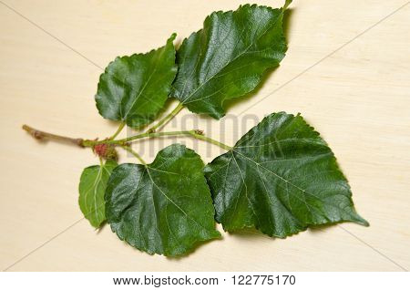Close-up view of Mulberry (MORUS ALBA Moraceae) leaf over wooden background. ** Note: Shallow depth of field