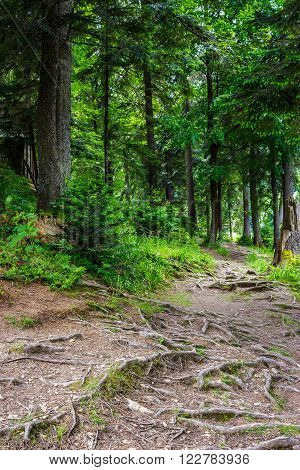 narrow path in a coniferous forest with tree roots sprouted across the footpath