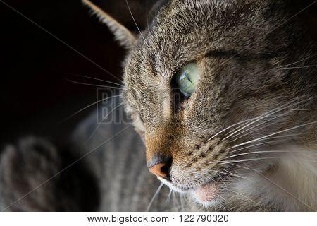 La mirada del lindo gatito. Hermosos ojos.