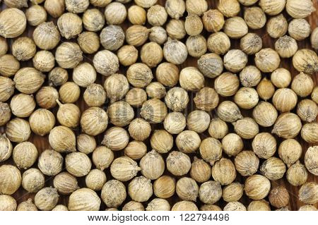 Coriander seeds coriandrum sativum also called pak chee cilantro and chinese parsley.