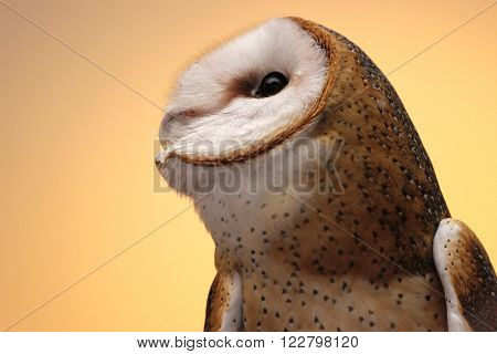 A barn owl (Tyto alba) close up on the head in side view.