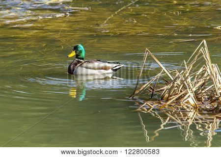 A male mallard duck swims in a wetland area in fernan Lake in Idaho.