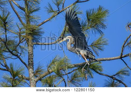 Heron with stick in beak in the tree in Fernan Idaho.