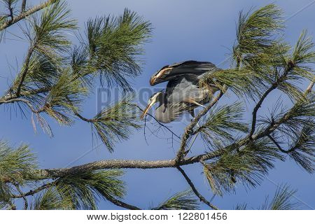 Heron perched on branch with stick in Fernan Idaho.