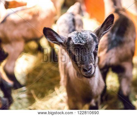 Baby Goats Portraits