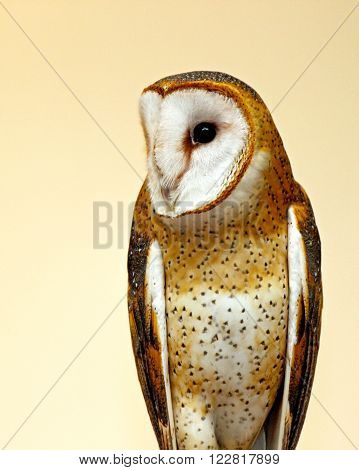 A golden barn owl (Tyto alba) looking to the side.