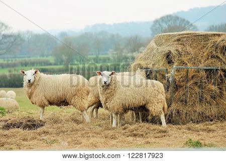 sheep in field with winter fodder feed hay