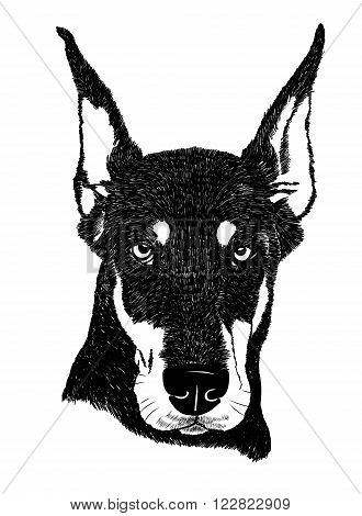 Vector doberman pinscher dog portrait illustration in engraving style