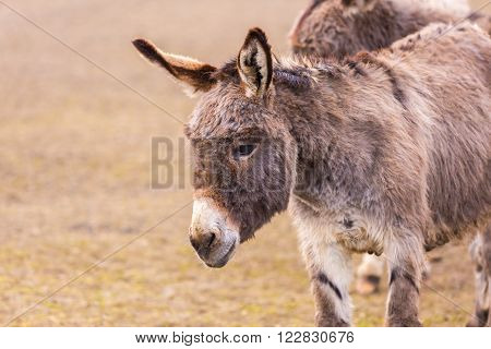 Donkey (Equus asinus) photographed in animal park