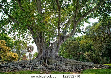 Mysore Fig Tree