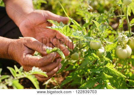 Farming and cultivations in Latin America. Middle aged hispanic farmer in a tomato field showing a bug that affects the plant to the camera. Closeup of hands