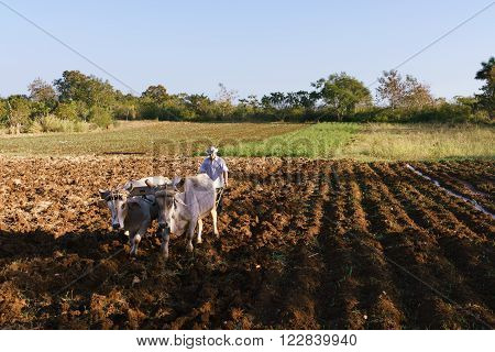 Farming and cultivations in Latin America. High angle view of middle aged hispanic farmer manually ploughing the soil with ox at the beginning of the growing season.