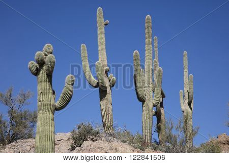 Giant thorny Saguaro Cactus in Sonoran Desert of Southwestern USA
