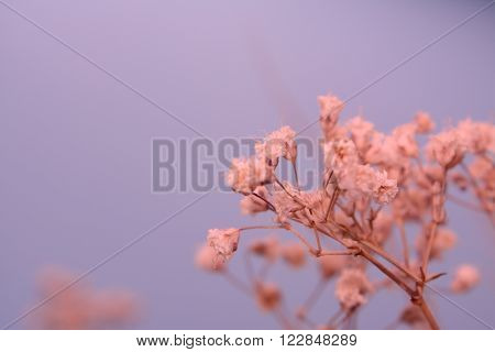 Delicate tiny dry flowers on purple background