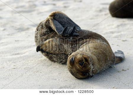 Galapagos Seal Pup