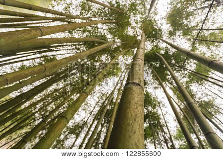 Bamboo forest at Cao bang province, Vietnam