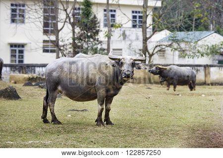The Buffalo at Cao Bang province, Vietnam