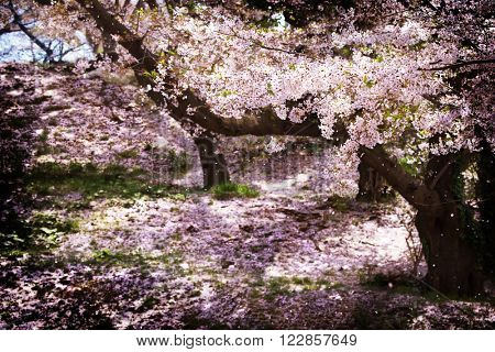 Cherry blossom in full bloom. Old cherry tree orchard, with ground covered with cherry flower petals. Cherry blossoms flower petals falling in a spring breeze. Processed in muted impressional tone.