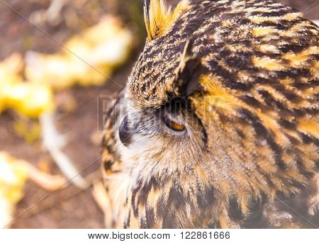 Beautiful big eagle-owl portrait. Predator bird portrait