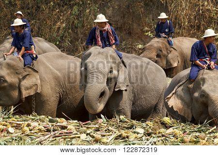 CHIANG MAI THAILAND - March 13: 15th Annual National Thai Elephant Day Elephants joyfully on fruits buffet elephants festival at maesa elephant camp Mar 13 2014 in Chiang Mai Thailand.