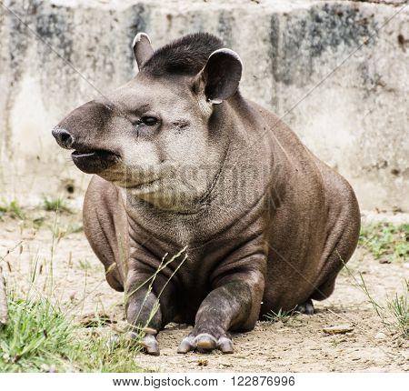 South American tapir - Tapirus terrestris - beauty in nature ** Note: Visible grain at 100%, best at smaller sizes