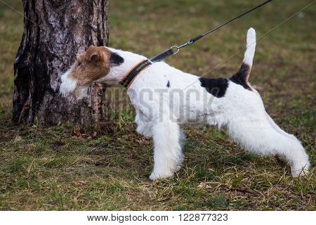 Airedale terrier on the walk. Photo of a beautiful animal
