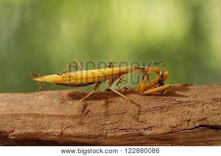 closeup many young mantises climb and watch the adult praying mantis eats
