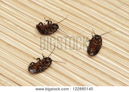 three dead cockroach on the floor in an apartment house. Inside high-rise buildings. Fight with cockroaches in the apartment. Extermination.