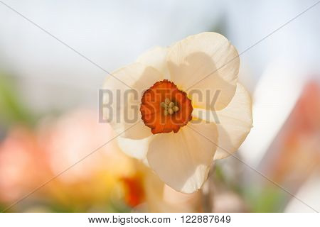 Narcissus flower against sunlight. White petals flower macro view shallow depth of field. soft and blurry background. spring season flowers concept. shallow depth of field photo
