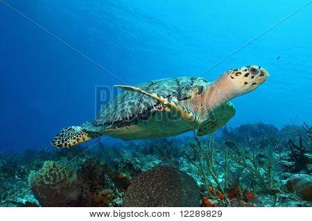 Hawksbill Turtle - Cozumel