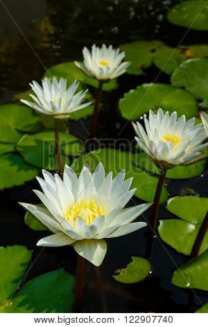 white leaf lotus flower on water photo stock,water lily