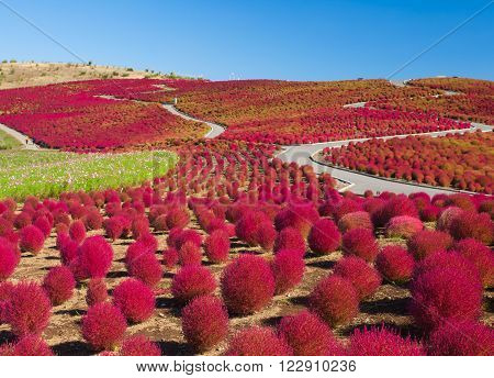 Beautiful kochias hill in autumn season at Hitachi seaside park Ibaraki prefecture Japan