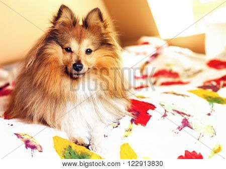 a young shetland sheepdog lies on bedcover ** Note: Shallow depth of field
